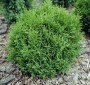 Thuja_occidental_4aafc32bbb272.jpg