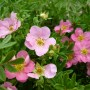 potentilla_pink_queen5